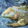 Мексиканская ящерица 6 букв